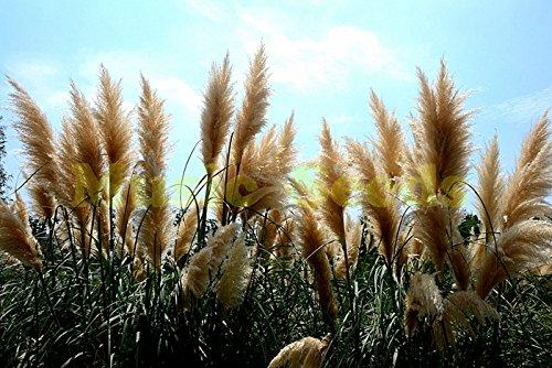10pcs Festiva Maxima de pivoine blanche, les graines de pivoine, graines bonsaï de fleurs, fleur nationale chinoise Noble et belle maison de jardin