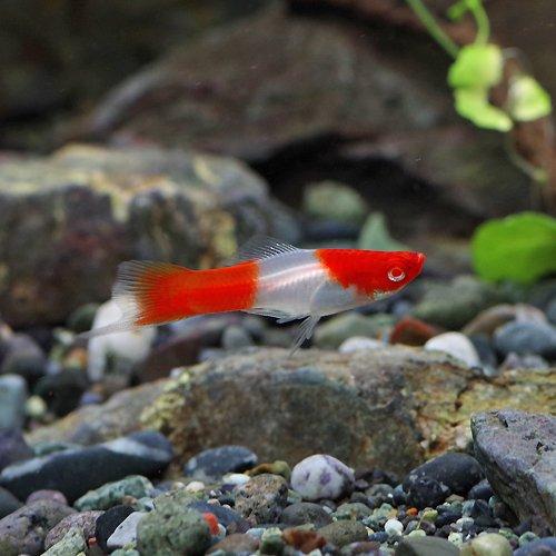(熱帯魚)アルビノ紅白ソードテール(約3-4cm)<5匹>[生体]