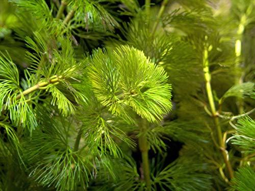 Aquatic Arts Green Cabomba - 2 Bunches – Live Aquarium Plant