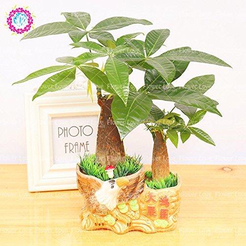 1pcs Pachira Graines Pachira Macrocarpa Money Tree Bonsaï Graines vivaces Plante en pot Balcon plantes ornementales