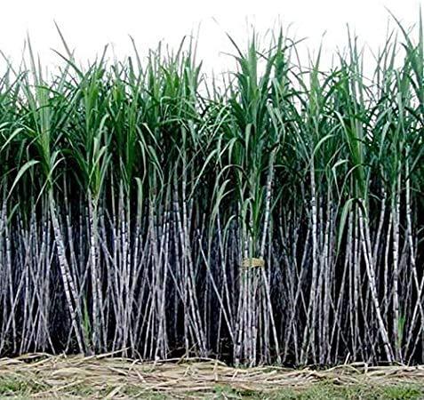 Rosepoem 6-18 pieds de hauteur Graines 1000Pcs Canne à sucre Graines Rhum Sirop candi Cristaux de sucre
