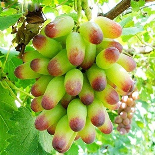 Ncient Graines De Raisin - Raisins Seeds - Semis d'arbres Fruitiers Graines de Semences de Fruits Jardin Balcon Plantes (50 pcs)