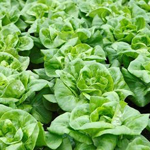 1000Pcs Lettuce Seeds Green Leafy Vegetables Heirloom Hardy Vegetable Seed DIY Home Garden Decor Planting Courtyard