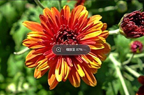 100pcs/sac couvre-sol des graines de chrysanthèmes, plante en pot graines de fleurs vivaces bonsaïs marguerite pour le jardin chrysanthème à domicile 10
