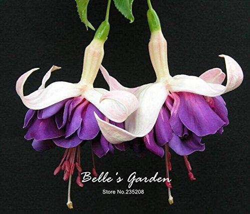 50pcs Multi-couleurs rose pétales de double Fuchsia Graines bon marché Graines Potted belle fleur Graines Bonsai Graines 06