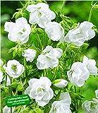 BALDUR-Garten Winterharte Geranien 'Weiße Snow Double®', 2 Knollen, Geranium himalayense