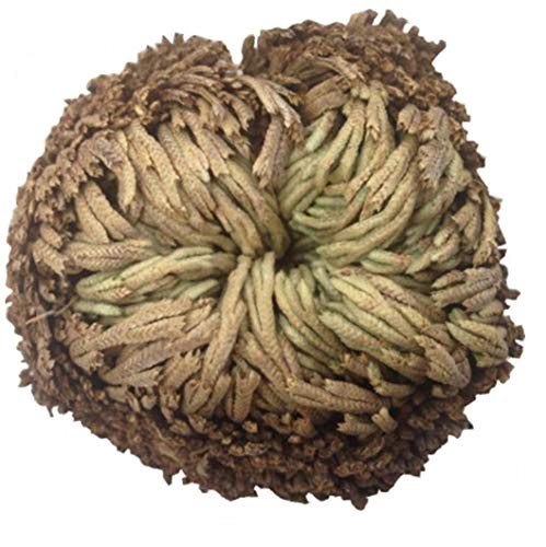 Onsinic 1 Planta De La Resurrección Pc Práctica En De La Planta De Musgo Rose Aire Helecho De Spike Musgo Selaginella