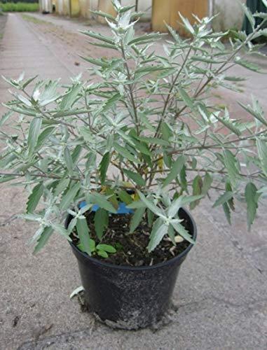 Caryopteris clandonensis Sterling Silver (R) - Bartblume Sterling Silver (R) - Blaubart - duftend (30-40)