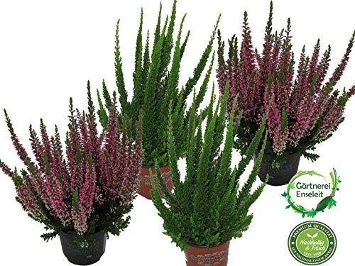 Callunen Set bestehend aus 4 Pflanzen, Calluna vulgaris, Winterheide, Besenheide
