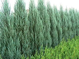 Blue Arrow Juniper - 20 Live Trees - Juniperus Scopulorum - Formal Evergreen Privacy Screen
