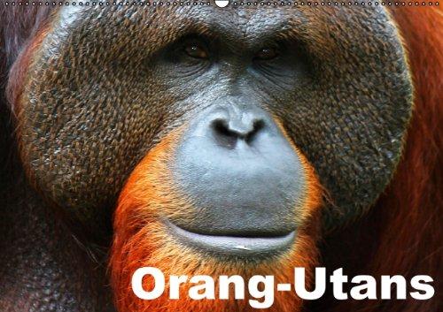 Orang-Utans (Wandkalender 2015 DIN A2 quer): Baumbewohnente Menschenaffen im roten Zottelfell (Monatskalender, 14 Seiten)