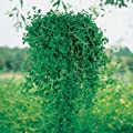 Outsidepride Pennyroyal Flower
