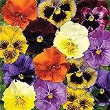 Fnho Perennes Semillas de Flores,Jardín Planta en Maceta perenne,Tri-Column, Family Garden, Flower-Yellow_100grain