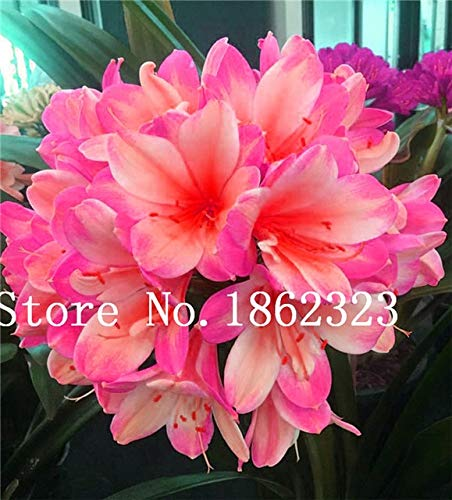 Bloom Green Co. 100 Pcs Clivia graines, semences rares chinois Clivia Couleur de la fleur, jardin bonsaïs Graine Semente décoratif Cadeau de Noël: 21