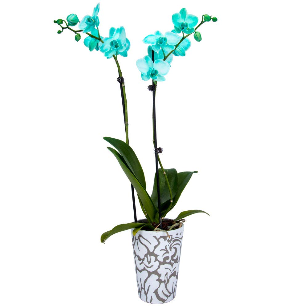 DecoBlooms Living Green Premium Double Stem Spring new Max 46% OFF work inc 5 - Orchid Plant