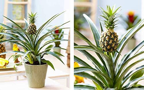 Ananas comosus / 'Champaca' Zierpflanze/Ananas/Essbar/Eine lebende Pflanze