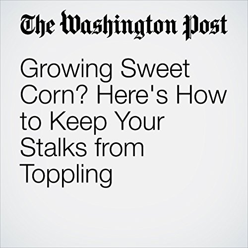 Growing Sweet Corn? Here's How to Keep Your Stalks from Toppling cover art