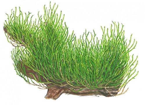 Tropica Mousse Flamme 1-2-grow - Taxiphyllum 'Flame' - in Vitro - Live Plante pour aquarium