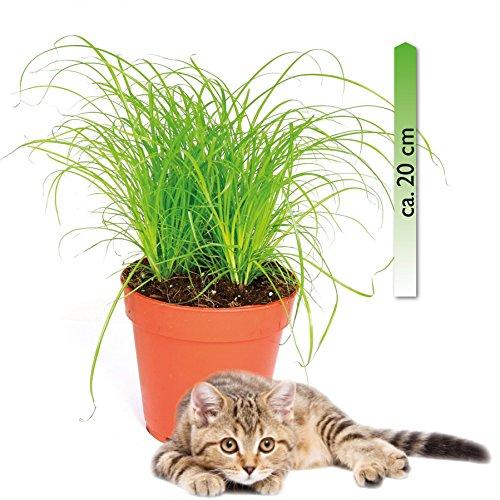 mgc24® Katzengras Cyperus zumula im 12er Topf ca. 20cm hoch