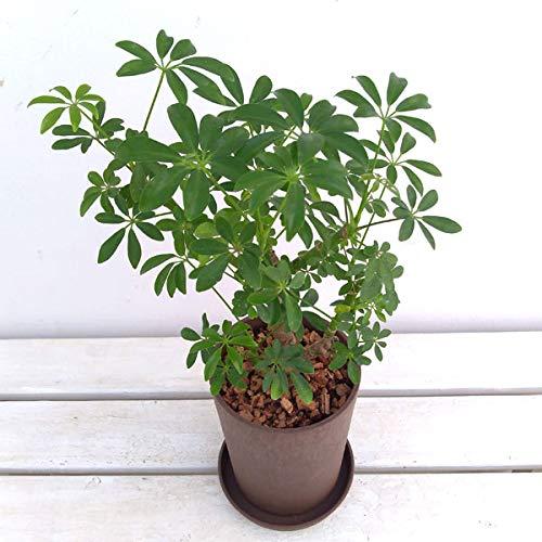 シェフレラ・コンパクタ 4号エコプランター植え(皿付き)[観葉植物]