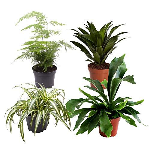 Mix di 4 piante verdi da interni GORGEOUS GREEN | Clorofito, Platicerio, Asparago, Dracaena | Piante di tendenza | Altezza 24-36cm | Vaso Ø 13cm