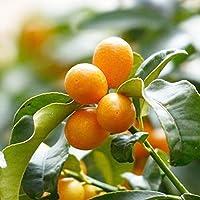 """""""寧波金柑(ニンポウキンカン)の苗木""""15cmポット接木苗 樹高約50cm 1本売り(ポット苗なのでほぼ年中植付け可能!)【果樹 2年生 接木苗/即出荷】キンカンの代表的な品種で 甘味が強く美味しく、生食用に市販されているほとんどがこのニンポウキンカンです。 ネイハキンカンとも呼ばれトゲが少なく、寒さや病害虫に強く、隔年結果になりにくく毎年実が成り育てやすいです。豊産性で自家結実性があリ、1本で実をつけます。金柑の中でも果実が大きく生食に向き、果実にビタミンA,Cが豊富で利用価値が高く、庭に1本あると重宝です。庭植えのほか、鉢でも育てられます。キンカンは、柑橘系の中では耐寒温度が-6℃程度と耐寒性が高いため、南東北の平野部までは戸外で栽培することができると言われています。(耐寒性はあくまで目安です。毎年の気候や地域により変わります。ご了承ください)【自社農場から新鮮苗直送!!】【即出荷】"""