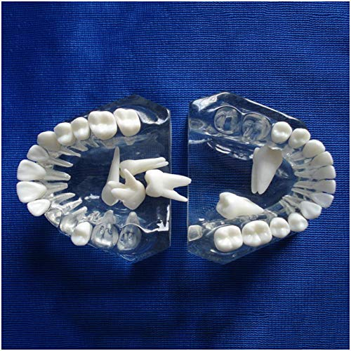 ZMX Dental Teeth Study Teaching Model - Medical Science Dental Education Model - Ypodont Demonstration Teeth Model with Removable Teeth - for Teaching Study,A