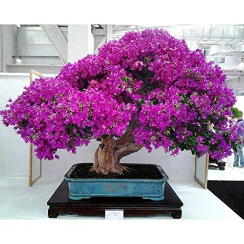 TOMASASeedhouse- Semillas de árboles bonsái, 18 colores raros semillas de sakura japonesas flores de bonsái flores de cerezo de colores mezclados perennes jardín macetas resistentes