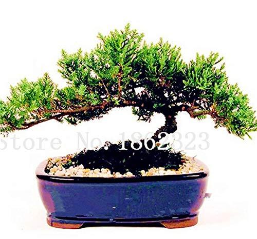 Shopmeeko Graines: 60 Pcs Rare coloré Juniper Bonsai Starter Arbre japonais -Juniperus PROCUMBENS & # 39; Nana & # 39; Plante en pot pour jardin Plante en pot: 4