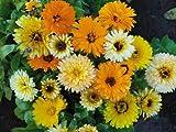 """Premier Seeds Direct UC-TLMO-9PU5 Ringelblume """"Pot Marigold Fiesta Riesenmischug"""" Samen (Packung mit 200)"""