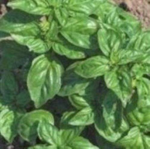 Basilic Neopolitana - Ocimum basilicum - 1000 Graines