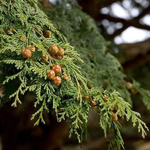 Cypress arbres Platycladus orientalis graines de thuya orientales Conifer maison graines de bricolage jardin - 10 pcs / lot