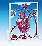 EDU Science 03017 Maqueta de corazón con bombeo