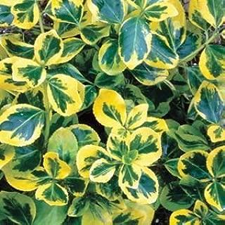 Euonymus-Gold-Splash - QT Pot (Shrub)