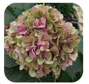 VISTARIC Beförderung!!! 200 Stück Feigenkaktus Kaktus essbaren Fruchtsamen Blumengarten Bonsai, Opuntia leptocarpa, selten, süß, nahrhaft