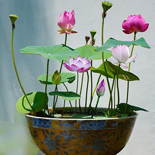 Lila Lotus Blumensamen 10 Stück Bio-Seerosen Lotus Bowl Wasserpflanzen Blume Einfach zu züchtende Samen für Bonsai Pflanzteich Indoor Outdoor Dekor