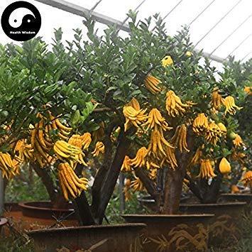 Potseed Kaufen Citrus Medica Sarcodactylis120Pcs Pflanze Citron Bergamotte Baum
