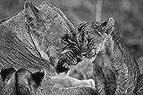 Bdgjln Puzzle 1000 Piezas-Animal Dibujo león besando-Juegos de Rompecabezas para niños, Regalos de Recuerdo para Adolescentes y adultos-50x75cm