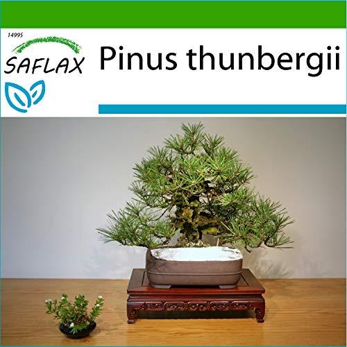 SAFLAX - Pino negro japonés - 30 semillas - Con sustrato estéril para cultivo - Pinus thunbergii