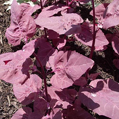 Germinación Las Semillas: 5 G: Semillas para la púrpura Orach | Atriplex Hortensis | Semilla Amkha