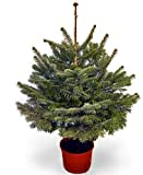 Live Christmas Trees - Best Reviews Guide