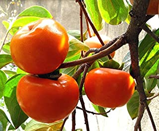 Live Plant Jiro Fuyu Japanese Persimmon Fruit Tree Around 3~4 feet Height in 3 Gallon Pot Get 1 Plant #BSG01YN