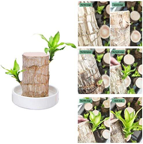 Plantes en pot en bois brésilien pour chanceux en bois potted,culture de l'eau d'intérieur de bureau plantes vertes Groot arbre Brésil ornements