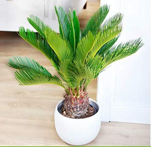 Anitra Perkins - Winterharte Palme samen Selten Palmfarn exotische Baum Fiederpalme winterhart mehrjährig Palme Baum Zimmerpflanzen für Terrasse/Balkon/Garten (10)