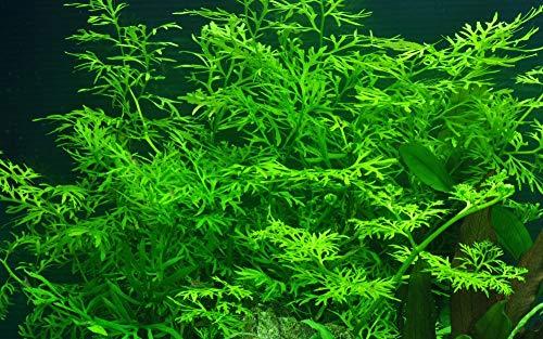 Tropica Aquarium Pflanze Ceratopteris thalictroides Nr.005A Wasserpflanzen Aquarium Aquariumpflanzen