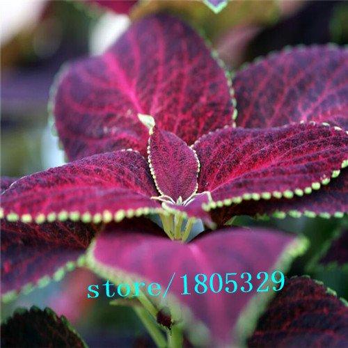 200pcs rainbow Seed dragon Coleus Flower Pack - Belles fleurs de plantation extatiques graines Bonsai pour jardin