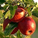 Müllers Grüner Garten Shop Roter Bellefleur historische Apfelsorte Apfelbaum 100-120