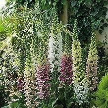 Digitalis purpurea Candy Mountain Mix Perennial Flowers Seeds 500 Pcs an
