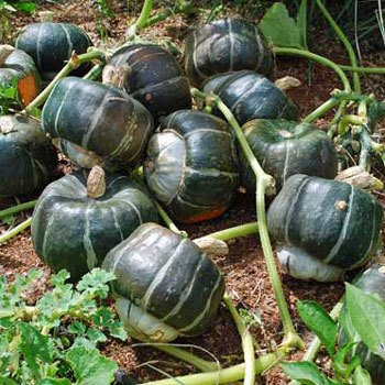 25 Samen von Burgess Buttercup Squash - Cucurbita Maxima
