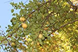 1 Gallon Pear Tree Potted Plant, Classic Southern (ILR) Pear, Sweet Delicious Fruit (Kieffer)